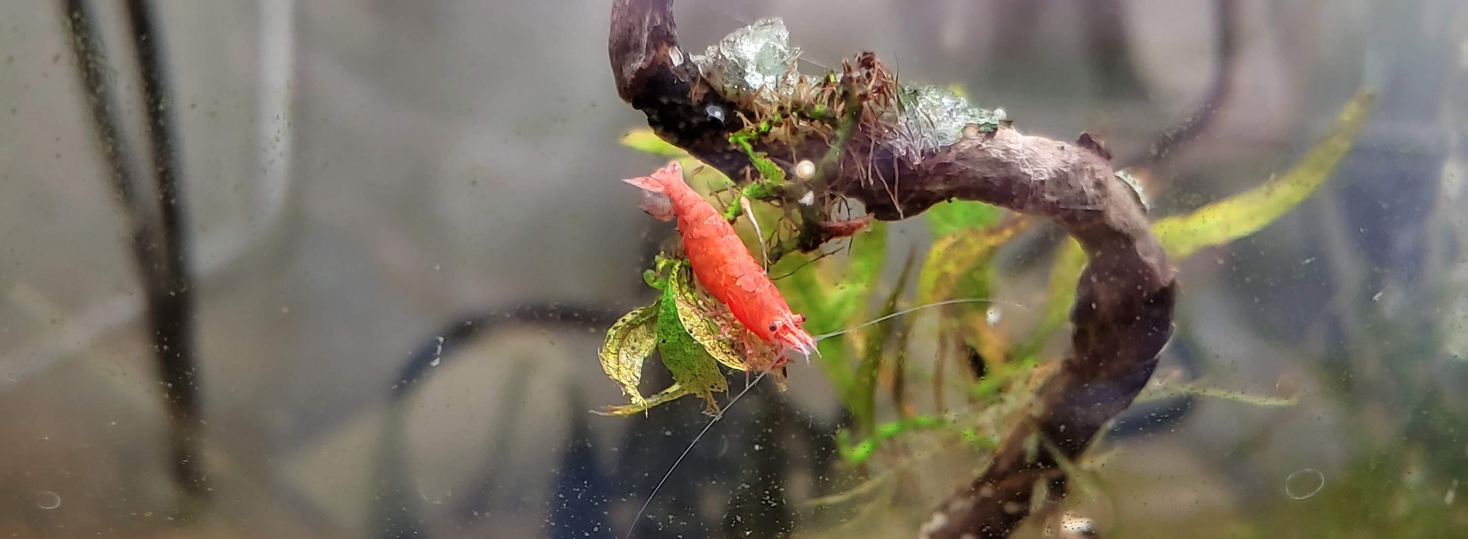 Neocaridina Red Cherry Shrimp